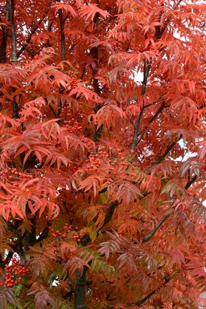 rowan tree: Rowan tree with bright red autumn foliage and berries Stock Photo