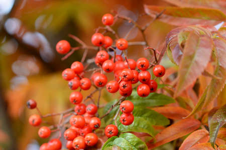 ash tree: Close-up of red berries on a mountain ash tree in fall