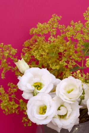 alchemilla: White tulip gentian flowers and frondy alchemilla mollis against a deep pink background
