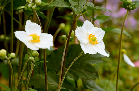 Two white Japanese anemone flowers - windflowers - in a garden Stock Photo