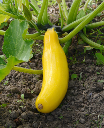 matures: Long yellow summer squash matures on a bush plant in a vegetable garden