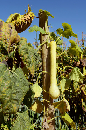 cucurbit: Long tromboncino squash grows hanging on the vine in a vegetable garden full of plants