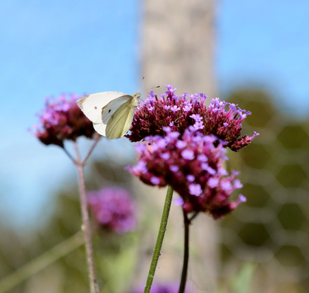pieris: Cabbage white butterfly takes nectar from purple verbena flowers in a garden