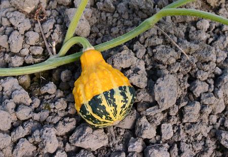 bumpy: Yellow and green bumpy ornamental gourd growing on a long vine