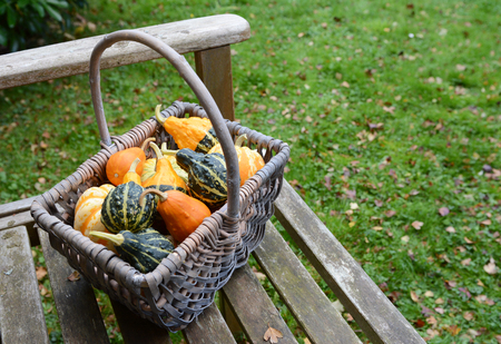 cucurbit: Rustic basket filled with a selection of ornamental pumpkins on a wooden bench in a fall garden Stock Photo