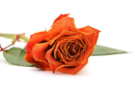 fading: Orange rose bloom with fading petals, lying on a white background