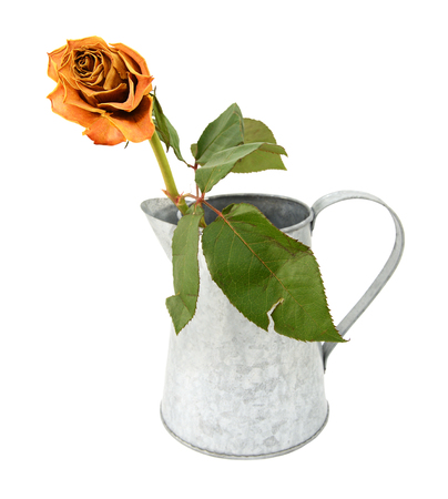 Dying orange rose stem with a torn leaf in a rustic metal pitcher, isolated on a white background