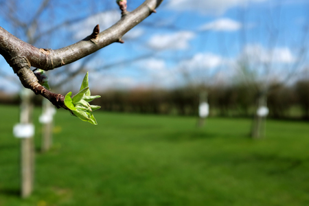 Close-up of green leaves opening on apple tree in a sunny orchard