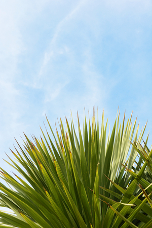 Abstract top of an evergreen yucca tree, its leaves against copy space of blue sky Stock Photo