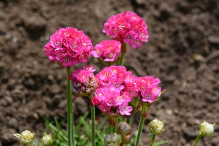 Bright pink flowers of armeria, also known as Ladys Cushion, thrift or sea pink