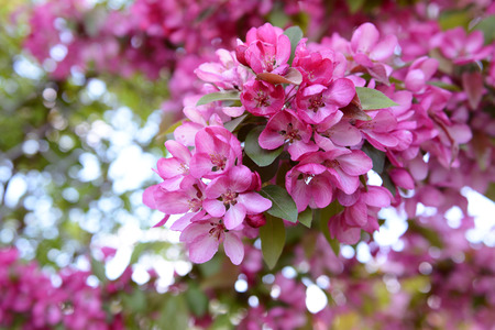 crab apple tree: Bold pink blossom on branch of malus crab apple tree in spring Stock Photo