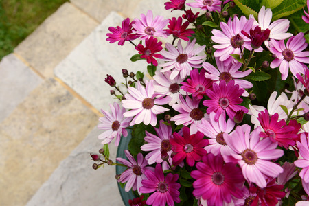 Dozens of pretty pink and magenta African daisies in a flower pot, on patio steps leading to grass with copy space