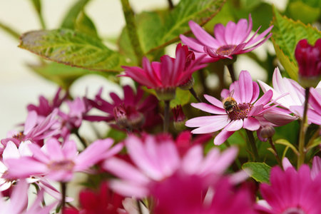 osteo: Focus on a small honeybee pollinating colourful pink African daisies in a garden