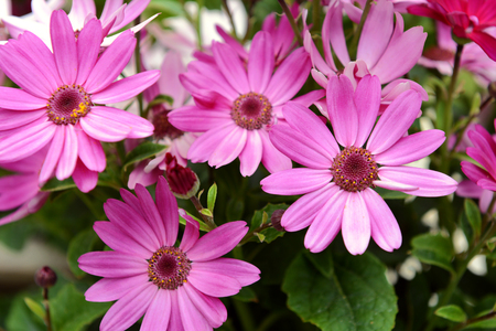 osteo: Four African daisies with vivid pink petals and green foliage. Selective focus on one bloom. Stock Photo
