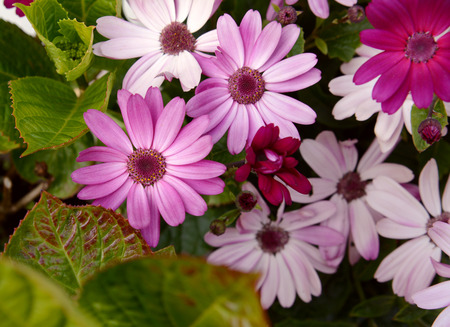 osteo: African daisies in different shades of pink crowd together; green hydrangea foliage surrounds the open blooms Stock Photo