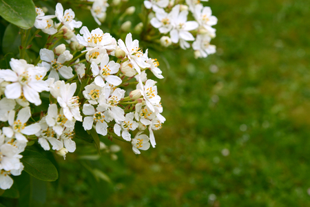 rutaceae: Fragrant white choisya flowers against green grass background - the shrub is also known as Mexican orange blossom or mock orange.