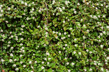 Trailing cotoneaster shrub with white flowers and small glossy stock photo trailing cotoneaster shrub with white flowers and small glossy green leaves covers a wall mightylinksfo