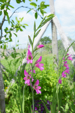 Stalks of pink gladioli flowers growing in a verdant flower bed with blue sky beyond