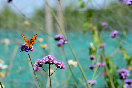 Comma butterfly with orange and brown wings sits on verbena flowers - selective focus and copy space