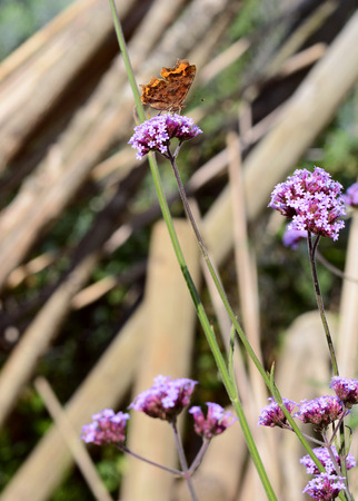 clearly: Comma butterfly stands with closed wings on purple verbena flowers. Identifying white mark on underside of wing is clearly visible Stock Photo