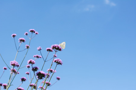 pieris: Cabbage white butterfly on top of tall verbena flower stems against a bright blue sky