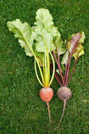 Orange and red beetroot - rainbow and standard variety with differing leaves - on green grass