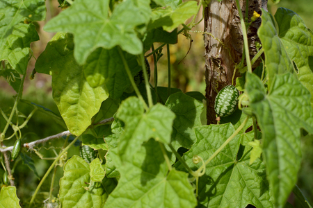 Green cucamelon among foliage; smaller fruits growing on the vine Stock Photo