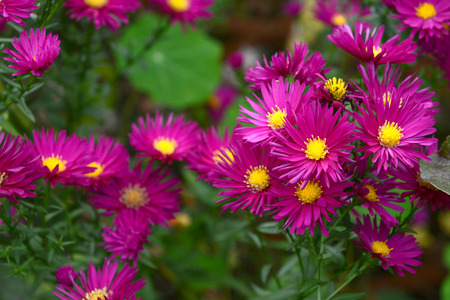 Cluster of Michaelmas daisies with magenta petals and yellow centres, a traditional autumn flower