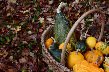 Woven basket filled with green, orange and yellow ornamental gourds among fall hawthorn leaves