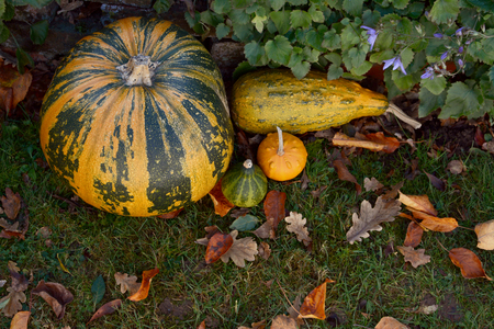 Large pumpkin and mixed ornamental gourds with autumn leaves in a garden - copy space on grass Stock Photo