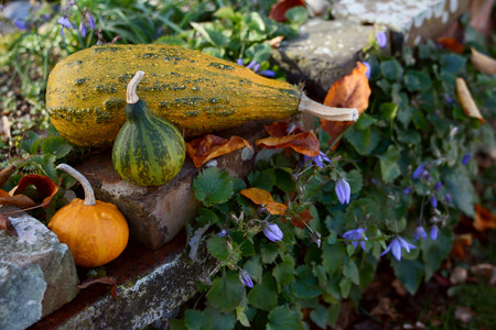 Small and large ornamental gourds on a rustic rockery wall, with autumn leaves and blue flowers Stock Photo