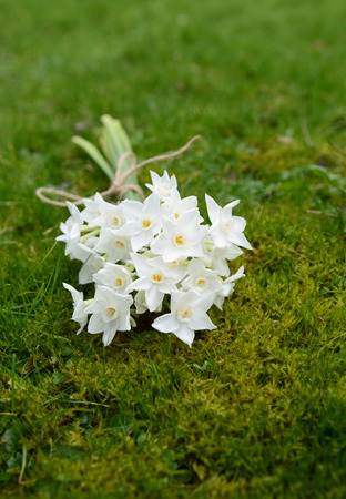 Spring bunch of white narcissus blooms, lying on lush grass and moss