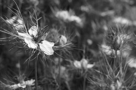 Delicate love-in-a-mist flower in selective focus against a flower bed full of nigella plants - monochrome processing