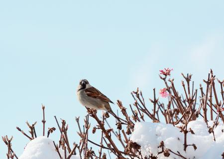 Male house sparrow perches atop a deciduous verbascum bush; pink flowers show among snow