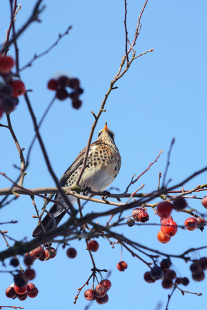 Fieldfare perching high in a crab apple tree, seen from below, showing soft speckled plumage. The wild birds are more often seen on agricultural land, but come to domestic gardens in winter weather searching for food. Stock Photo
