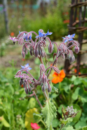 Borage plant with downturned blue flowers grows in a thriving garden in the summer