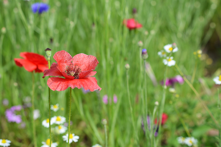 Red poppy flower blowing in the wind against a background of wild flowers