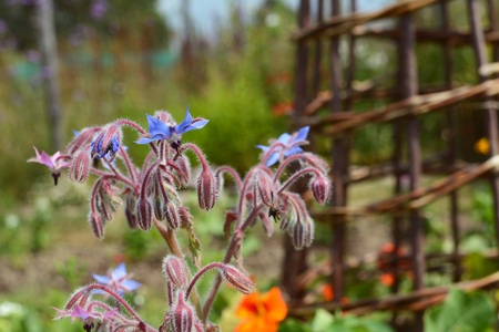 Borage flowers in selective focus against a cane wigwam in a pretty flower bed