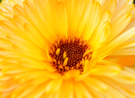 Macro of yellow calendula flower with red-brown stamen, also known as Mary's Gold Zdjęcie Seryjne