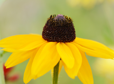Single Rudbeckia Marmalade flower with yellow petals. Also known as Coneflower and Black-eyed Susan. Stok Fotoğraf