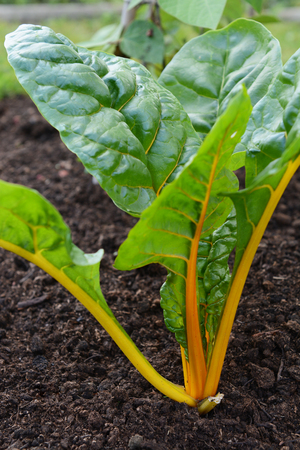 Yellow stems of a rainbow chard plants with large green leaves, growing in a vegetable garden