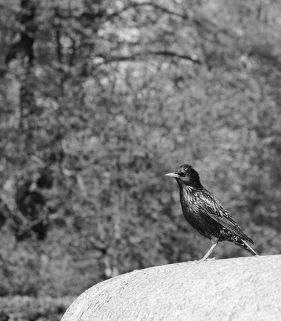 Starling with iridescent feathers stands on stone ledge in a park - monochrome processing