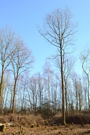 Tall, bare-branched trees in a coppiced clearing in woodland against a clear blue sky