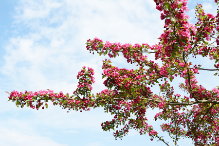 Branches of a crab apple tree covered in abundant deep pink blossom criss-cross against a cloudy blue sky