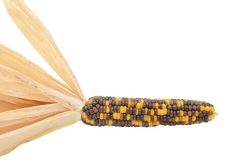 Ornamental maize cob - Fiesta sweetcorn - with black, brown and yellow niblets and pale dried husks, on a white background