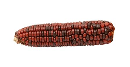 Ornamental sweetcorn cob with dark red and brown niblets, isolated on a white background