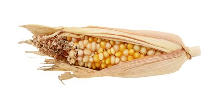 Half-eaten ornamental Indian corn cob with damaged niblets and torn dried husks, on a white background
