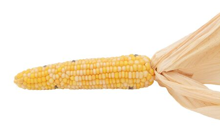Decorative flint corn with yellow, white and black niblets on the cob and dried husks, on a white background Stockfoto