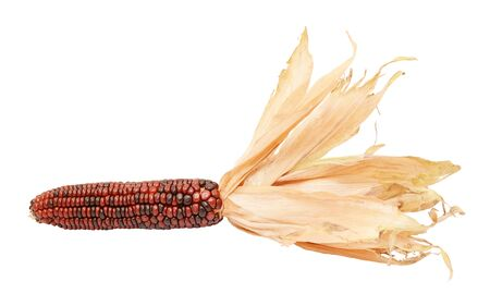 Deep red and brown Indian corn with papery dried husks drawn back from the cob, on a white background 写真素材