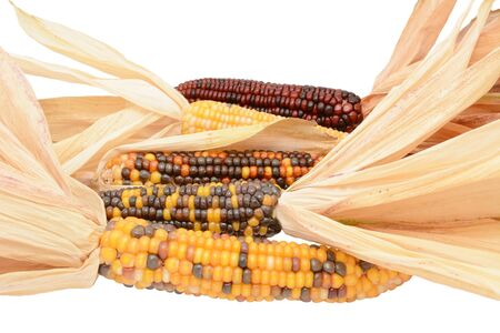 Five ornamental Indian maize cobs with colourful niblets and dried, papery husks, on a white background